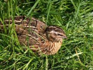 Coturnix Quail laying in grass